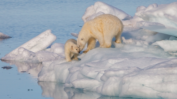 Polar_bear_(Ursus)_maritimus_female_with_its_cub,_Svalbard_(2).jpg